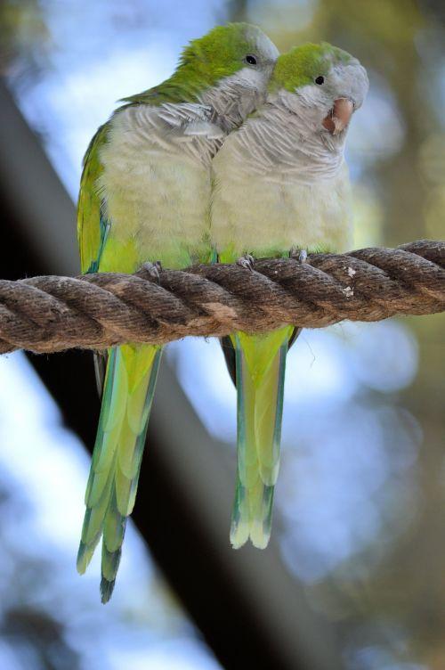 A Couple Lovebirds