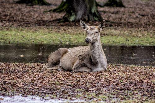 a female deer białowieża doe