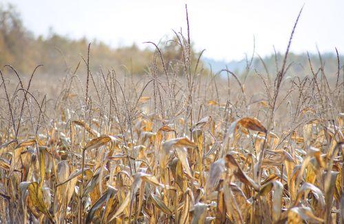 a field of corn corn dry leaves