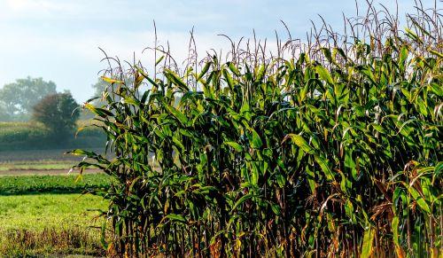 a field of corn field corn