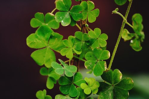 a four leaf clover  sustainability  green