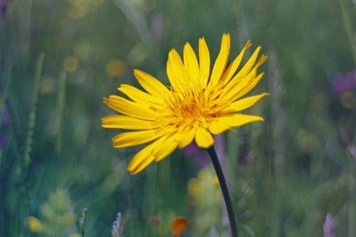 a goatee meadows dubius blossom