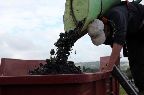 a grape-picker carrier vineyard