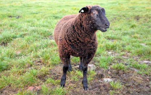 A Grinning Sheep