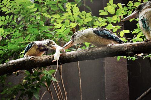 a kookaburra bird booty