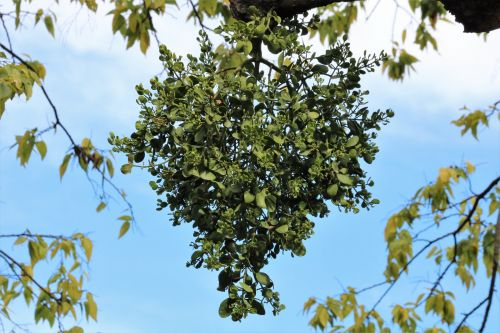 A Mistletoe Heart