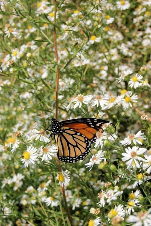 A Monarch Among Weeds