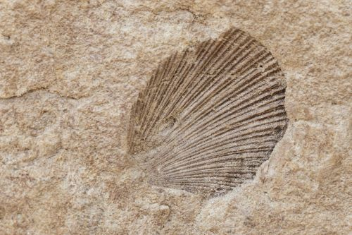A Shell Fossil