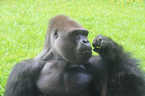 a silver back gorilla zoo eating