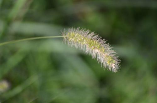A Tassel Of Grass