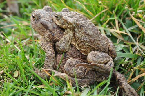 a toad common toad the frog