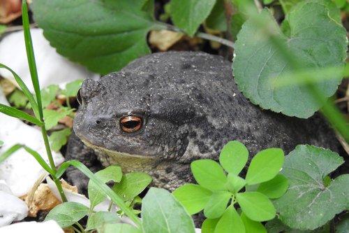 a toad  garden  animal