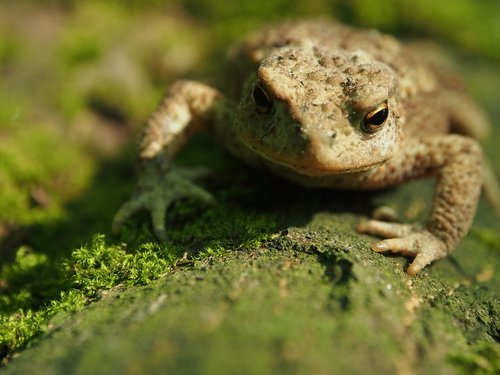 a toad  the frog  nature
