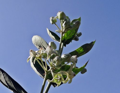 aak,kalotropis gigantea,pieneliukas,balta,gėlė,Hubli,Indija