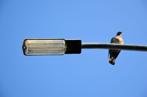 Pigeon On Lamppost
