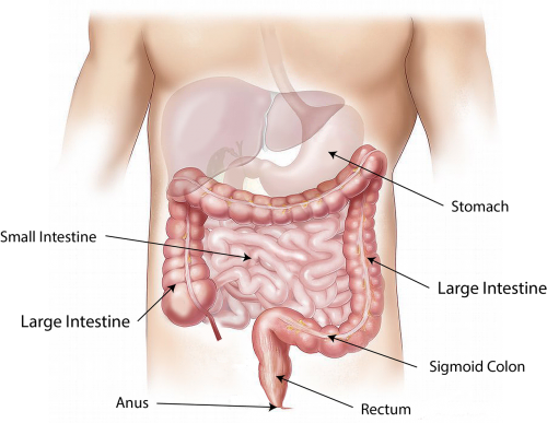 abdomen intestine large