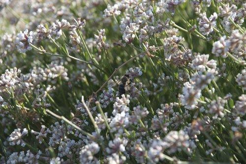 abeillle  insects at work  mediterranean vegetation