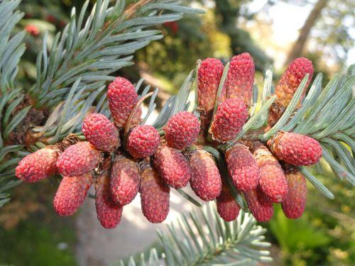 abies procera plant flower