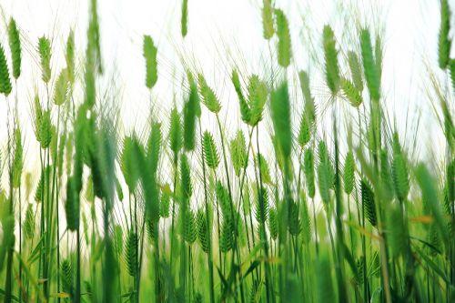 abstract barley field cheongbori