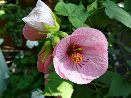 abutilon flower bud