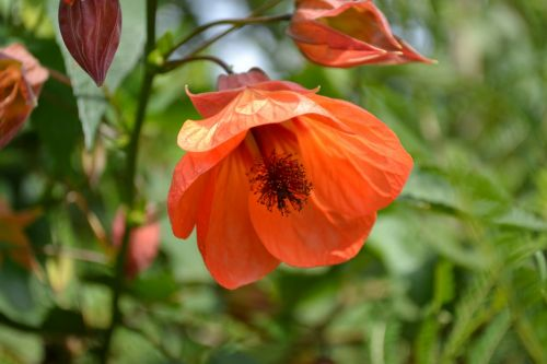abutilon mallow flower