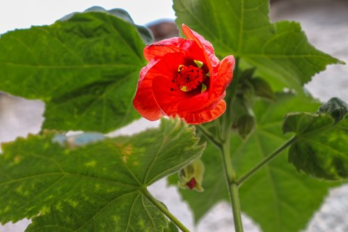 abutilon  room maple  plant