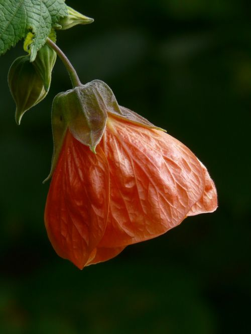 abutilon blossom bloom