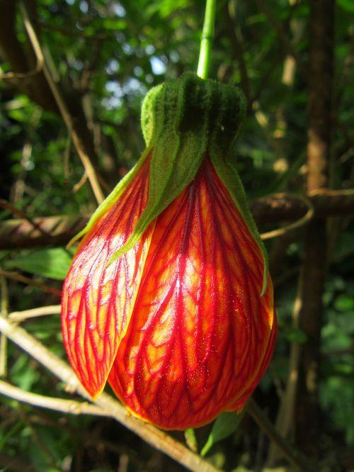 abutilon pictum flower red flower petals