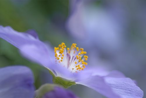 abutilon suntense flower violet