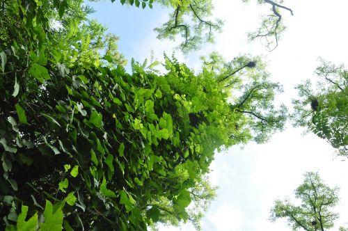 acacia subfamily faboideae green park