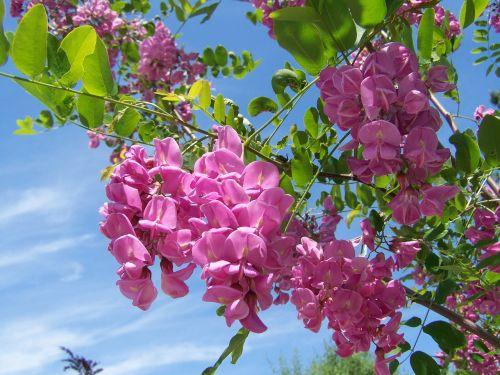 acacia pink-flowered spring