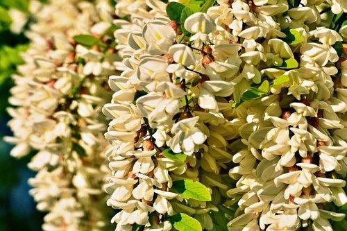 acacia  agátové  flowers