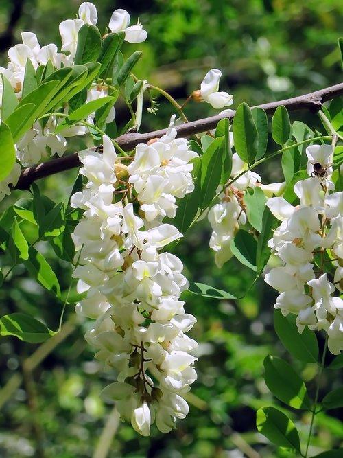 acacia  flower  white flower