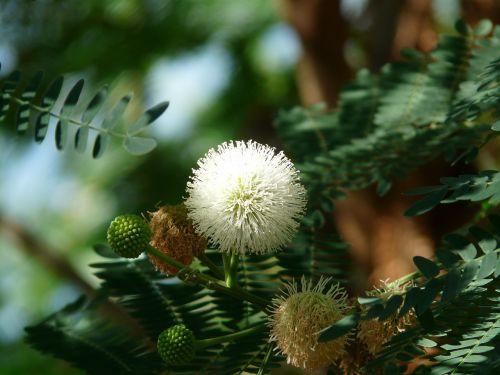 acacia flowers blossom bloom