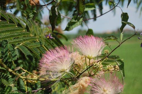 acacia of constantinople  gaggia arborea  the tree of silk persian