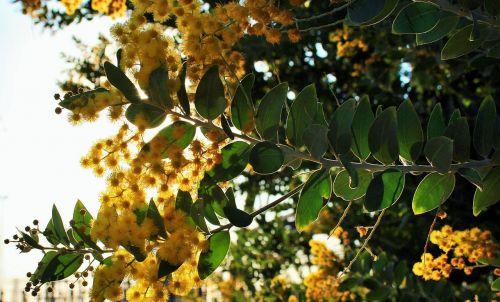 acacia tree bloom leaves