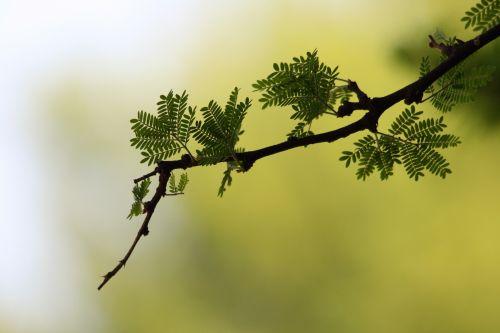Acacia Twig And Thorns
