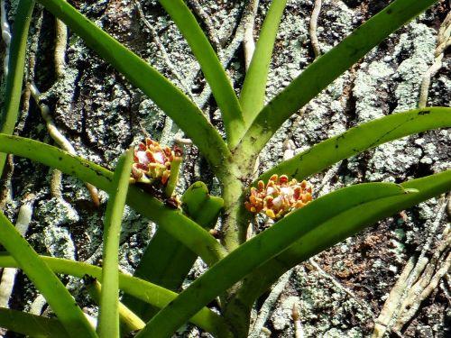 acampe praemorsa orchid epiphytic
