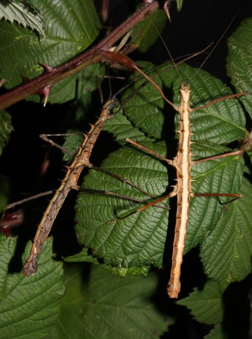 acanthomenexenus polyacanthus insect stick insect