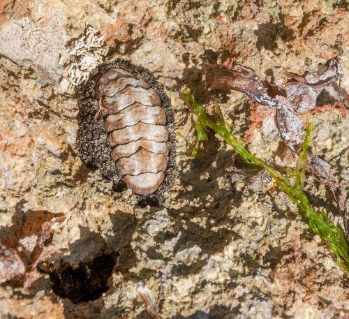 acanthopleura granulata nature mollusc