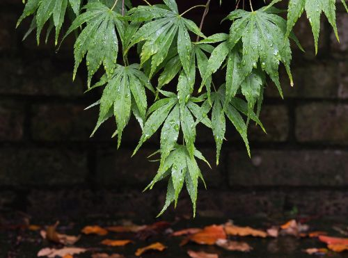 acer maple leaves