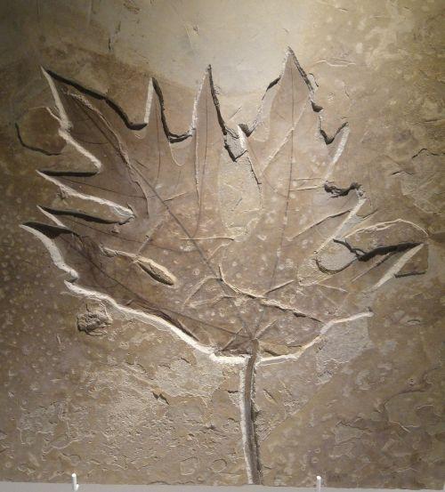 acer leaf eocene