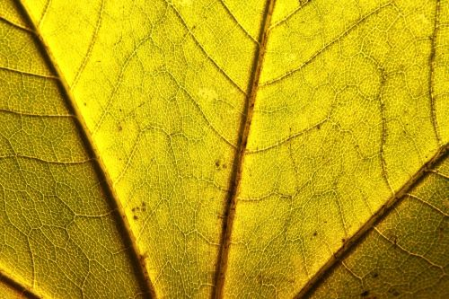 acer close-up leaf