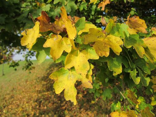 acer campestre field maple hedge maple