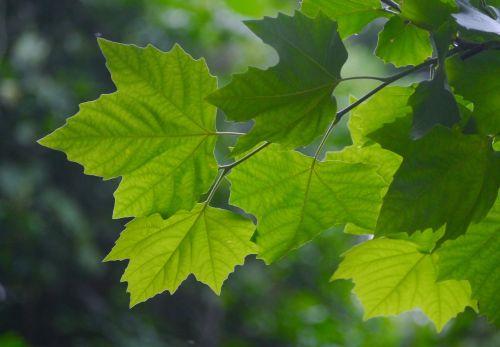 acer mono itaya-kaede maple