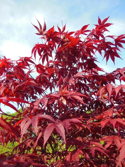 acer palmatum japanese maples trees