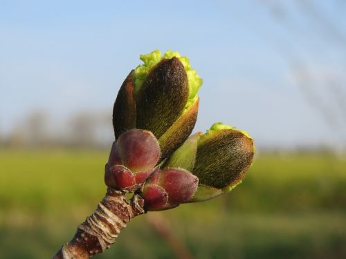 acer platanoides norway maple buds