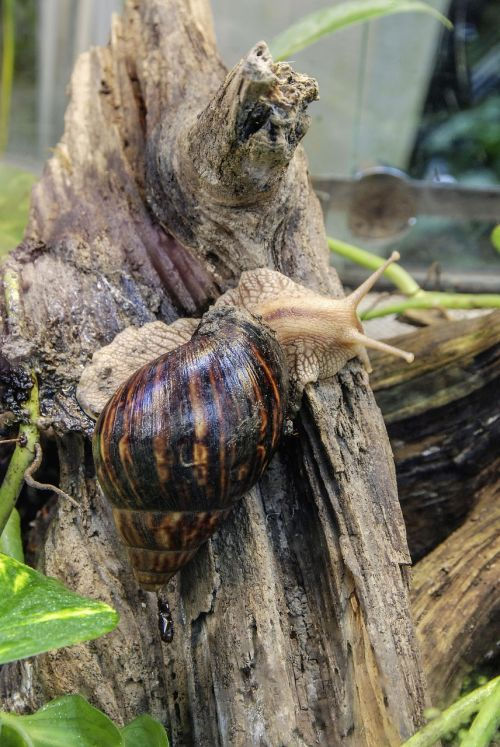achatina fulica large agate snail snail