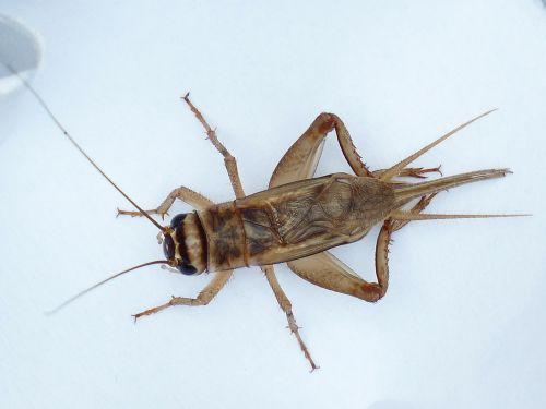 acheta domestica grille insect