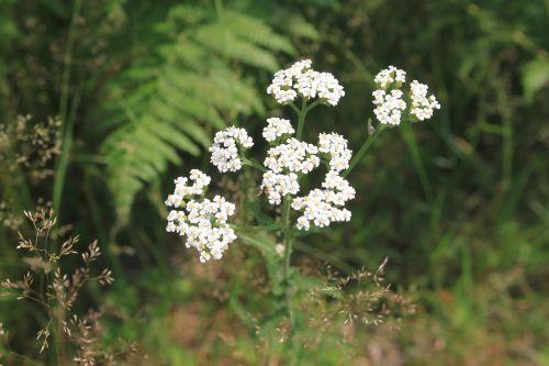 achillea flowers green